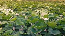 Lotusblüten-Meer im Beihai Park; Peking