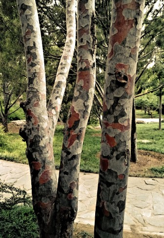 Bäume im Militär-Look; Jingshan Park Peking
